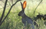hearing listening rabbit